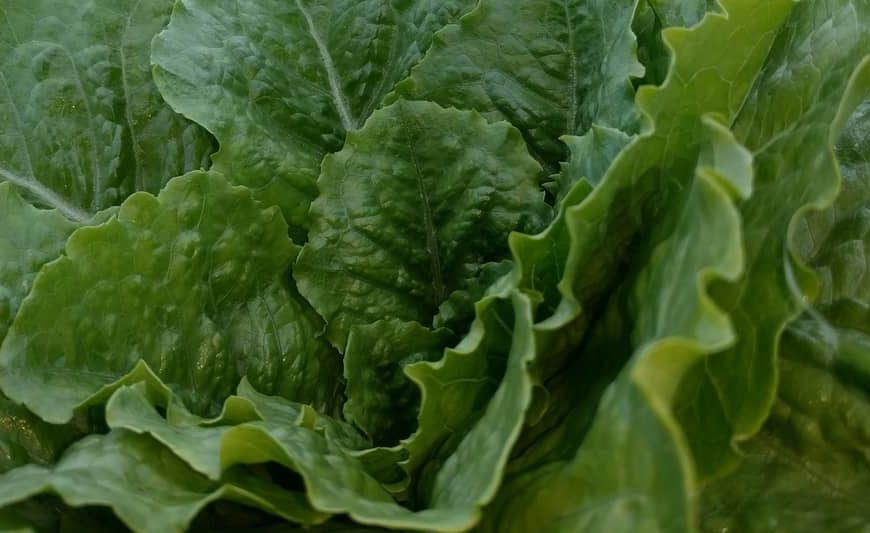 lettuce in field